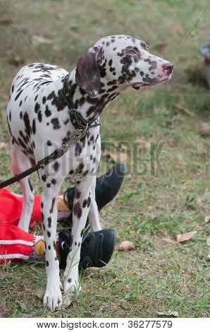 Dog show Dalmatians and leg master outdoors poster