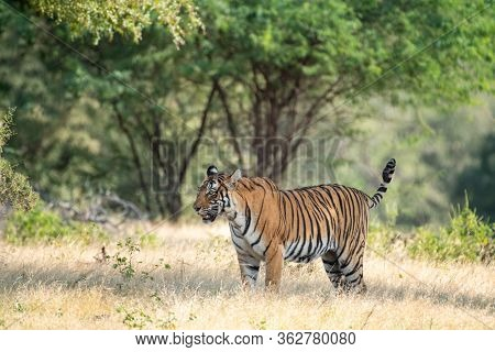 Wild Tiger In Monsoon Season Safari With Tail Up And Green Background At Ranthambore National Park O