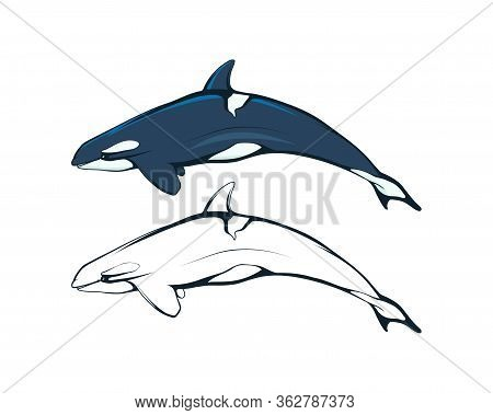 Killer Whale. An Orca (or Killer) Whale. Marine Mammal. Cetaceans. Toothed Whale. Dolphin Family. Th