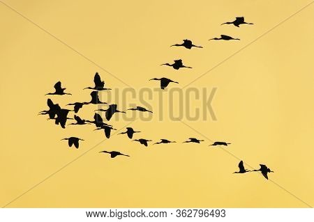 Group Of Glossy Ibis (plegadis Falcinellus) At The Ricefields At Sunset In Albufera De Valencia, Val