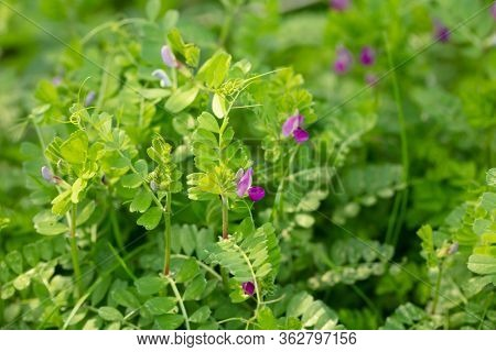 Common Vetch (Vicia sativa, Vicia angustifolia) also know as  garden vetch, tare or simply vetch, flowering in spring.