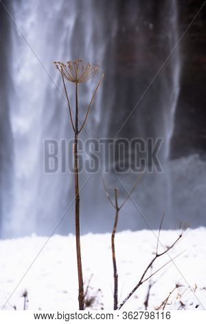 Detail Of Plant With Water Background, During Our Visit To Seljalandsfoss Waterfalls In A Freezing W