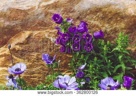Canterbury Bells And Anemones In The Stone Garden. Background With Violet Flowers. Rockery, Alpine G