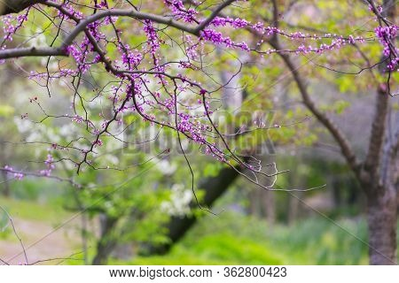 Spring Flowering Plant Background. Panoramic Spring View. Purple Flowers Of Cercis Canadensis Close-