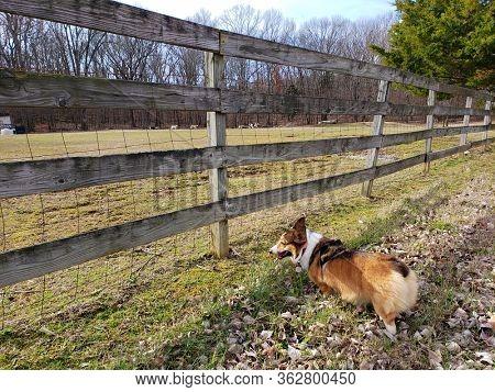 Happy corgi watching sheep through the fence.