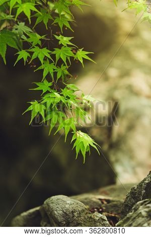 Fresh Spring Background. Maple Branch. Green Foliage Of Japanese Maple In A Stone Garden. Natural Ba