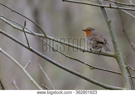 A Red Breasted Robin Bird From Behind. The Robin Is Clutching On To The Branch Of A Tree With No Lea