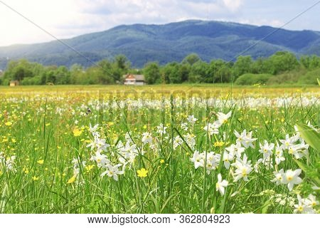 Nature Landscape With Flowering Meadow Of White Wild Growing Narcissus Flowers. Narcissus Valley In