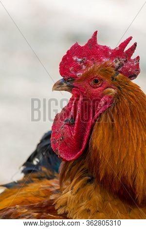 Portrait Of The Cockerel. Close Up Head Of Cock Bird.