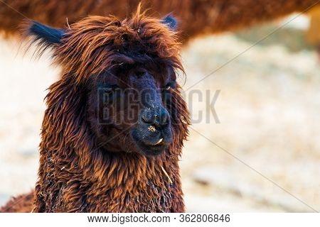 Peruvian Llama. Farm Of Llama, Alpaca, Vicuna In Peru, South America. Andean Animal.llama Is South A