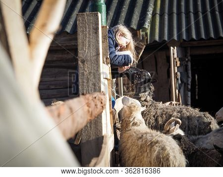 A Child Feeds Goats And Sheep On A Farm