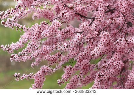 Plum Tree Boughs Laden With Springtime Blossoms