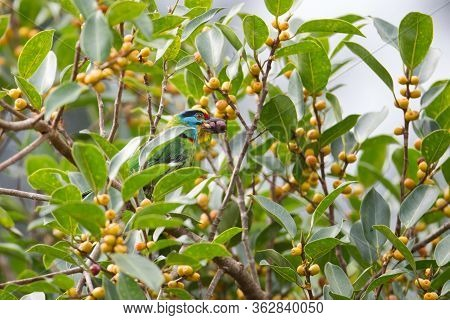 Beautiful Black-browed Barbet, High Angle View, Side Shot, Perching In The Morning On The Branch Of