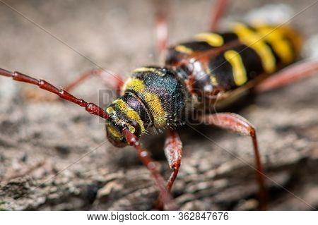 A Beautiful Longhorn Beetle (plagionotus Detritus, Cerambycidae) Sitting On Wood, Vienna (austria)