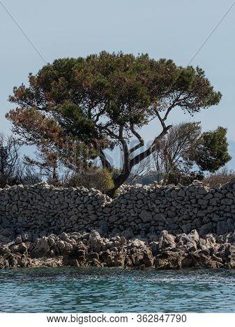 Pine Tree, Stone Walls Near The City Of Cres, Croatia