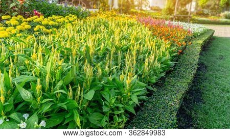 A Garden Of Yellow Wool Flower, Yellow Marigold And Colorful Flowering In A Green Leaf Of Philippine