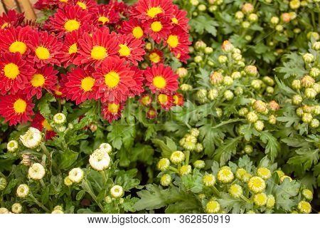 Red Petals Of Chrysanths Flowering Blooming On Small Bud And Green Leaves, Know As Mums , An Annual