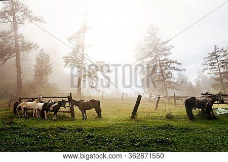 Horses On Leash On Foggy Morning At Halt