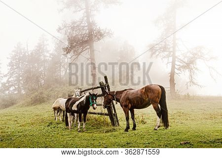 Altai Horses On Leash On Foggy Morning At Halt