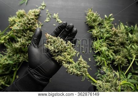 The Sugar Leaves On Buds. Mans Hands Trimming Marijuana Bud. Growers Trim Cannabis Buds.