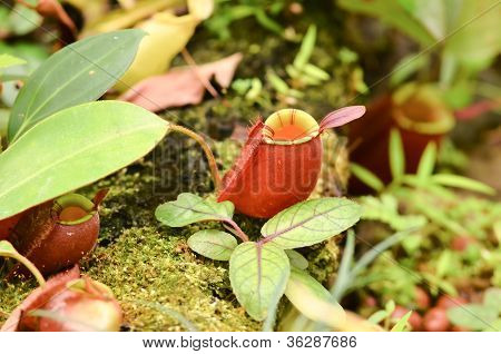 this is nepenthes ampullaria or Pitcher plant