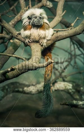 Tamarin Monkey (saguinus) Of White And Brown Color On A Tree Branch