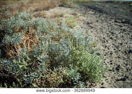 Steppe Thorn In Kazakhstan. Plants Of The Kazakh Steppes