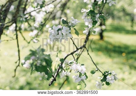 Blossoming Of Apple Tree In Spring Time With Green Leaves, Macro, Frame. Branches Of A Tree In Sprin