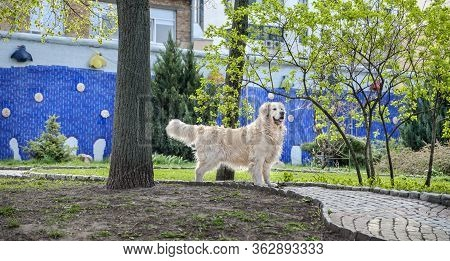 Pedigreed Golden Retriever On A Walk In The Park Stands And Looks Into The Distance. Photo Of A Dog.