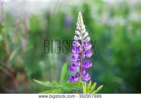Blooming Macro Lupine Flower. Lupinus, Lupin, Lupine Field With Pink Purple And Blue Flower. Bunch O
