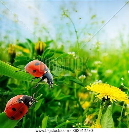 Ladybugs on green leaves in background sunrise