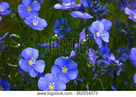 Flax Flowers. A Field Of Blue Flax Blossoms Closeup At Spring Shallow Depth Of Field.