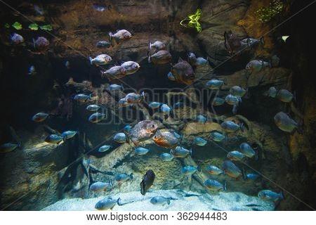 A Large Flock Of Piranhas, In A Beautiful Aquarium