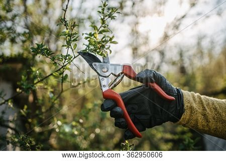 Close-up Picture Of Hand Cutting Twigs With Pruning Shears