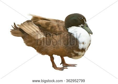 Image Of Mallard Duck Isolated On White Background.