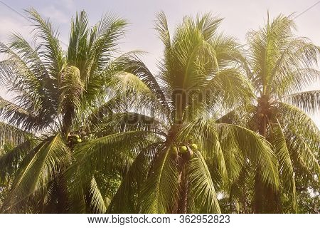 Coconut Palm Trees, Beautiful Tropical Background, Vintage Filter.