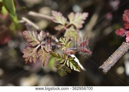 Herb Robert Flower Bud - Latin Name - Geranium Robertianum