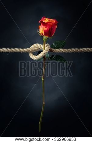 Red Rose Is Tied With A Rough Rope. The Concept Of Slavery Or Hostage, Restriction Of Freedom. Copy