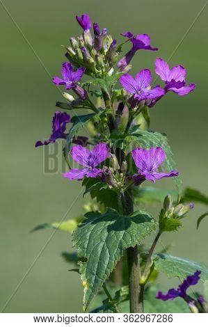 Honesty (lunaria Annua) Flower