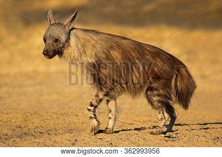 An alert brown hyena (Hyaena brunnea), Kalahari desert, South Africa
