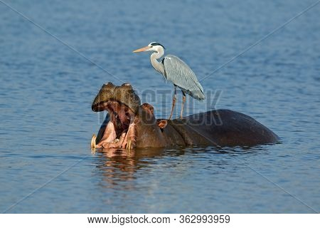 Grey heron (Ardea cinerea) standing on a hippo with gaping mouth, Kruger National Park, South Africa