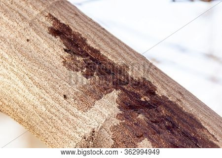 A Crack In The Bark Of The Branch From Which The Juice Protrudes, Selective Focus
