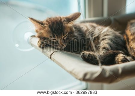 Cute Charcoal Longhair Bengal Kitty Cat Laying On The Cats Window Bed And Sleeping.