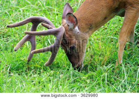 8 Point Buck White Tale Deer