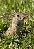 A capture of a little ground squirrel coming out of its den poster