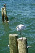 Great egret perched on a pole looking for fish off the Florida coast. poster