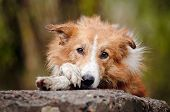 sad red border collie laying on the stone poster