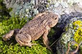 Amphibian Common toad (Bufo bufo) on moss poster