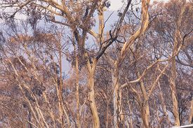 Gum Trees Affected By Bushfire In The Blue Mountains In Australia