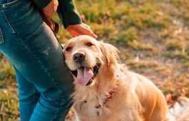Closeup Side View Smilling Portrait Of Golden Retriever Dog In Summer Background. Smiling Woman Hugg